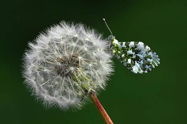 Wall Art - Photograph - Orange Tip Butterfly On Dandelion Clock by Colin Varndell/science Photo Library