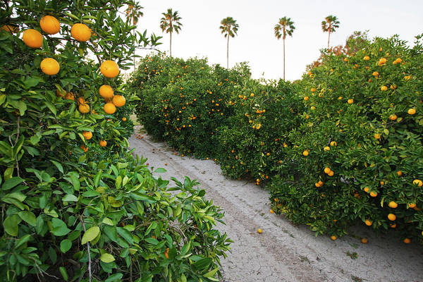 Fragrant Photograph - Orange Trees In Grove, Mission, Texas by Larry Ditto