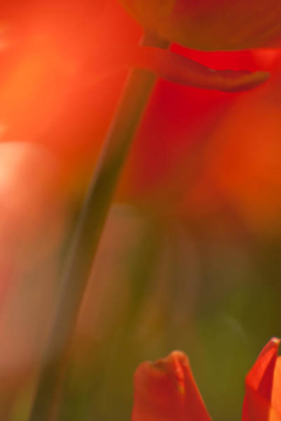 Photograph - Orange Tulip Abstract by Jani Freimann