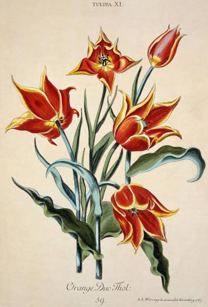 Tulip Bloom Painting - Orange Tulip by Conrad Gesner