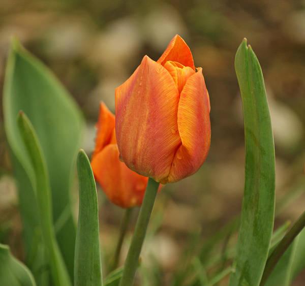 Photograph - Orange Tulip by Sandy Keeton