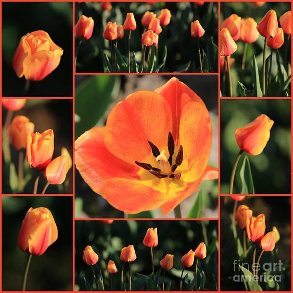 Photograph - Orange Tulips Collage by Carol Groenen