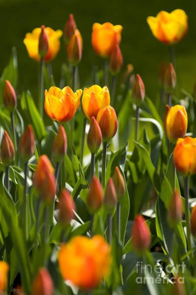 Photograph - Orange Tulips by David Lichtneker