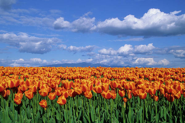 Row Crops Photograph - Orange Tulips In Field Skagit Valley by Richard and Susan Day