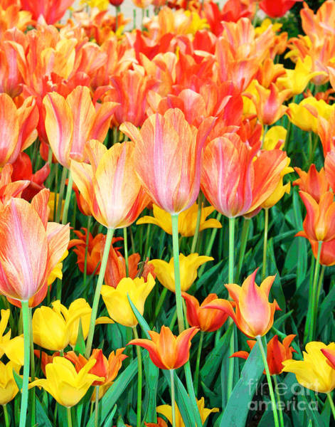 Photograph - Orange Tulips by Larry Oskin