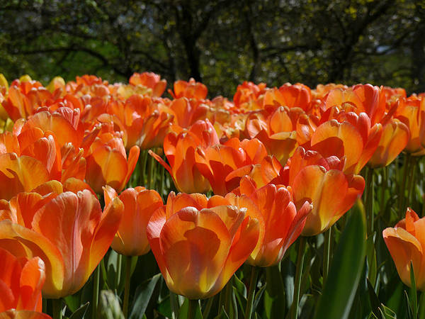 Photograph - Orange Tulips by Richard Reeve