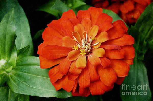 Photograph - Orange Velvet Zinnia by Andee Design