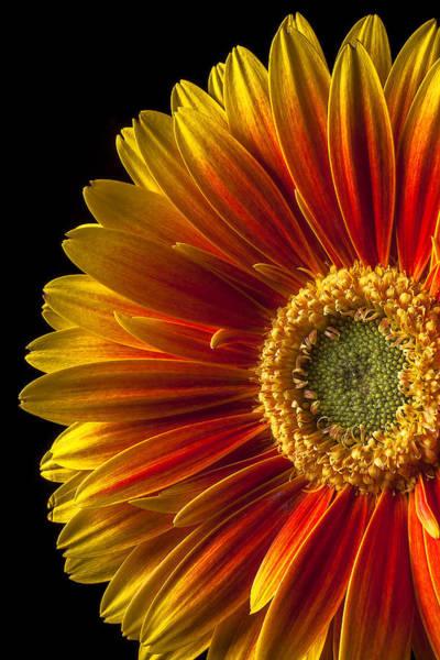 Gerbera Daisy Photograph - Orange Yellow Mum Close Up by Garry Gay