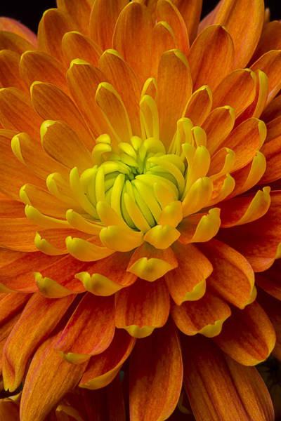 Mums Photograph - Orange Yellow Mum by Garry Gay
