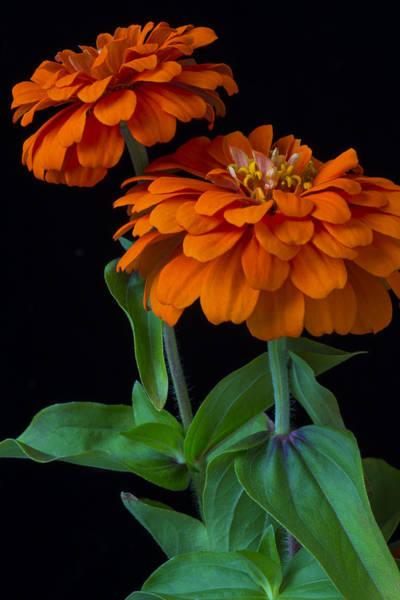 Zinnia Flower Wall Art - Photograph - Orange Zinnia by Garry Gay
