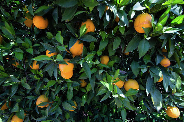 Fruit Tree Photograph - Oranges Growing On A Tree, California by Panoramic Images