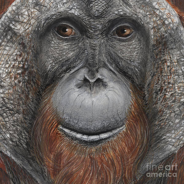 Painting - Orangutan Face - Orang-utan  - Orangutang - Orang-utang - Fine Art Print - Stock Illustration by Urft Valley Art