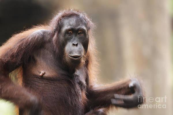 Orangutan Photograph - Orangutan by Richard Garvey-Williams