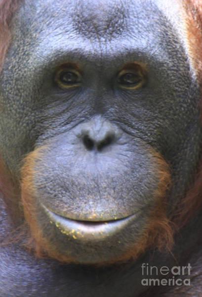 Photograph - Orangutan by Richard Lynch