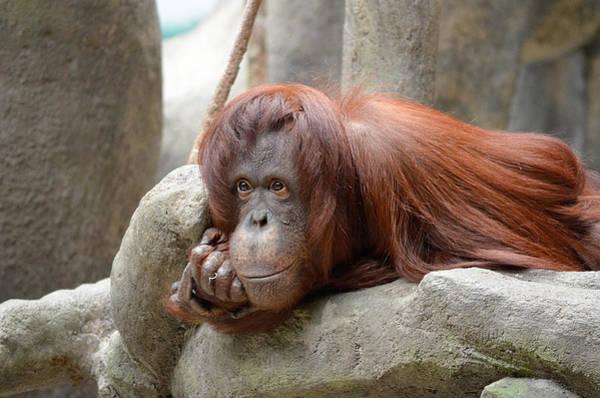 Orangutan Photograph - Orangutans Day by Julie Palencia