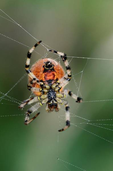 Orb Photograph - Orb Weaver Spider by Colin Varndell