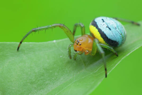 Orb Weaver Photograph - Orb-weaver Spider On Leaf by Melvyn Yeo/science Photo Library