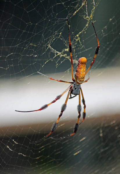 Summertime Wall Art - Photograph - Orb Weaver by Suzanne Gaff