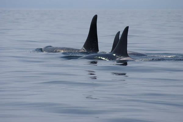 Photograph - Orca Family by Marilyn Wilson