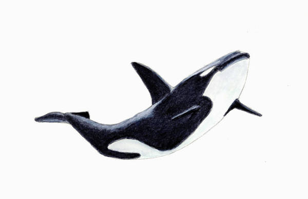 Killer Wall Art - Painting - Orca - Killer Whale by Michael Vigliotti