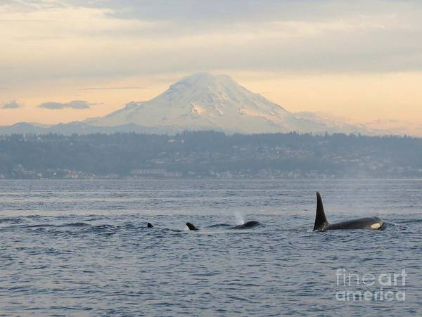 Blackfish Wall Art - Photograph - Orcas And Mt. Rainier II by Gayle Swigart