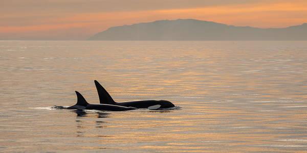 Orcas Off The California Coast Art Print