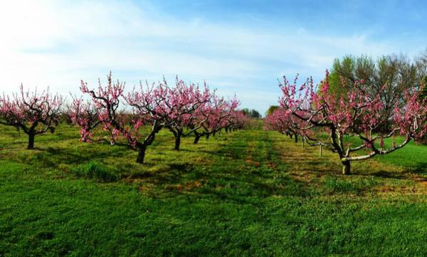 Wall Art - Photograph - Orchard In Spring by Michelle Calkins