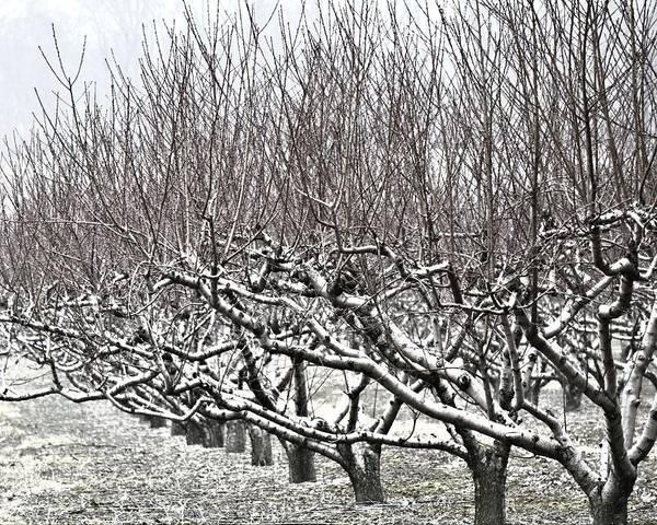 Orchard In Winter Art Print