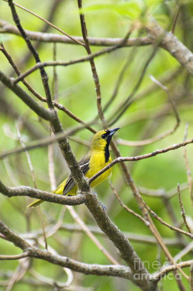 Icterid Photograph - Orchard Oriole - D009003 by Daniel Dempster