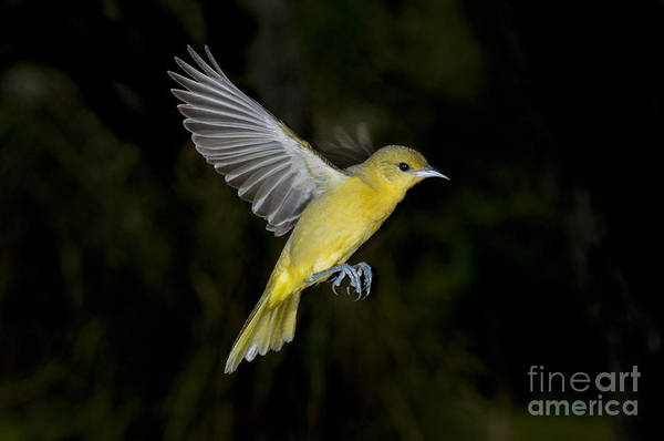 Icterid Photograph - Orchard Oriole Hen by Anthony Mercieca