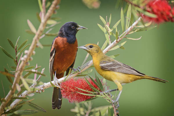 Bottlebrush Photograph - Orchard Oriole Pair by Bonnie Barry