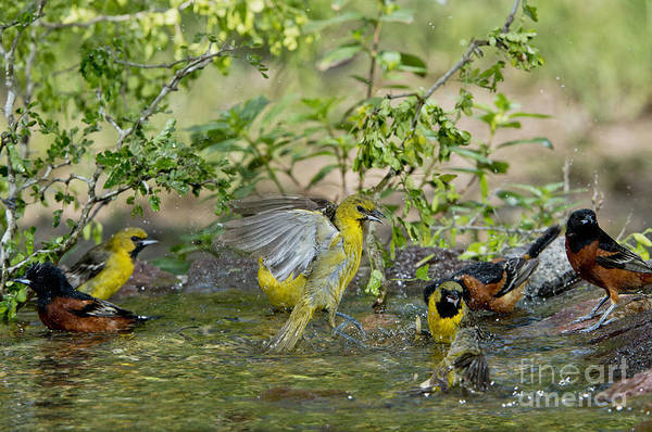 Icterid Photograph - Orchard Orioles by Anthony Mercieca
