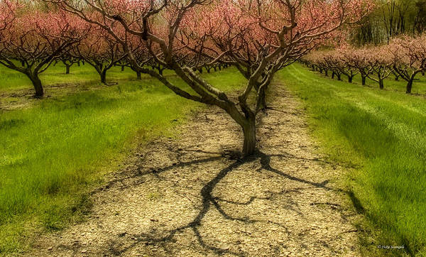 Photograph - Orchard by Vickie Szumigala