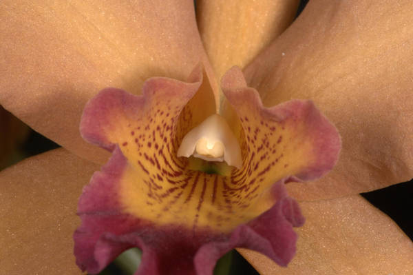 Photograph - Orchid 477 by Wesley Elsberry