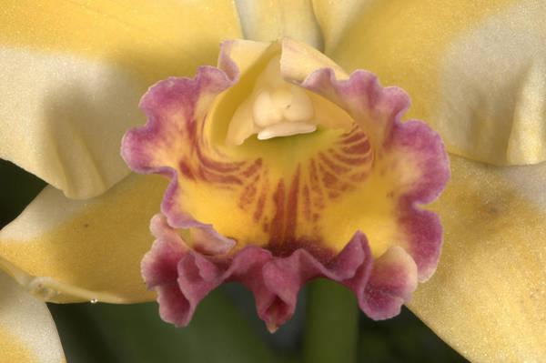 Photograph - Orchid 478 by Wesley Elsberry