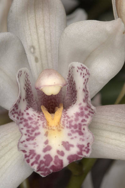 Photograph - Orchid 484 by Wesley Elsberry