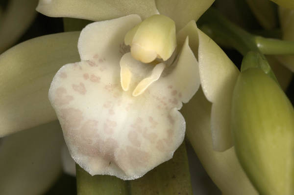 Photograph - Orchid 498 by Wesley Elsberry