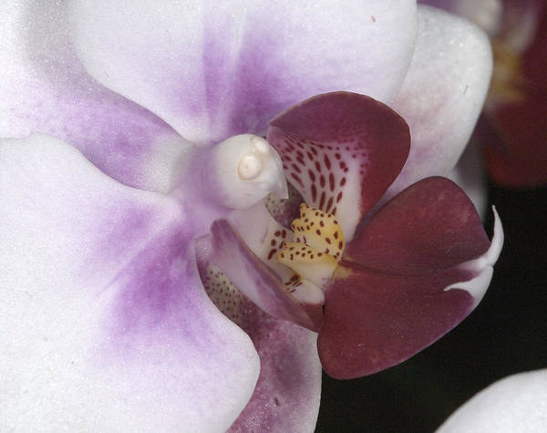 Photograph - Orchid 503 by Wesley Elsberry