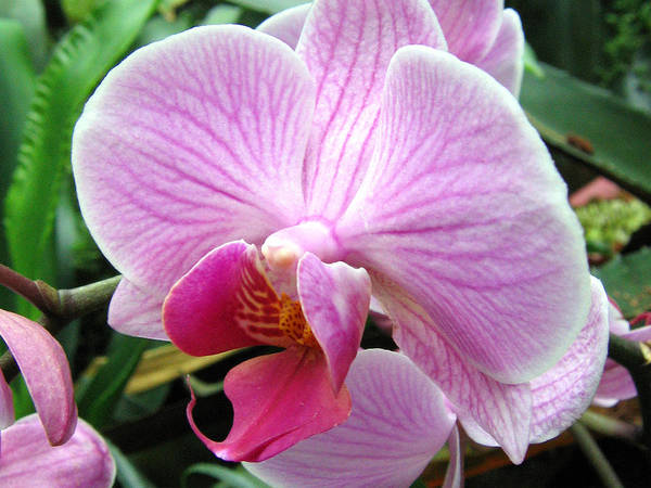 Photograph - Orchid 7 by Helene U Taylor