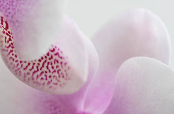 Photograph - Orchid Abstraction by Juergen Roth