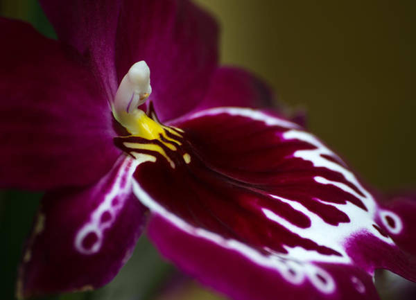 Photograph - Orchid Beauty by Dale Kincaid