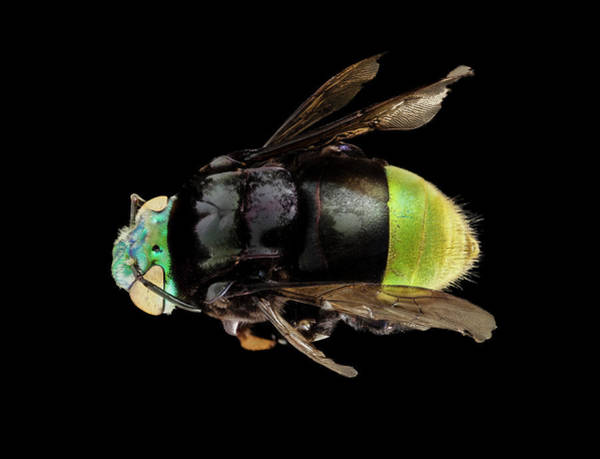 Image Stacking Photograph - Orchid Bee by Us Geological Survey
