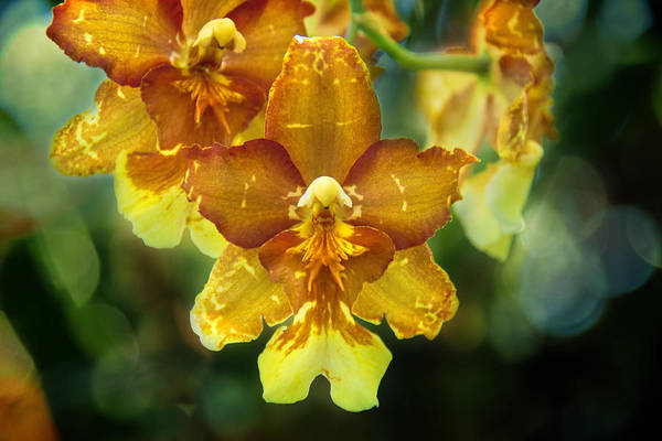 Photograph - Orchid Bokeh by Jemmy Archer