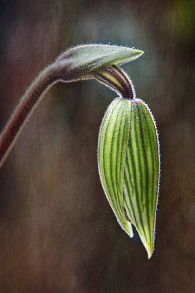 Photograph - Orchid Bud by Dale Kincaid