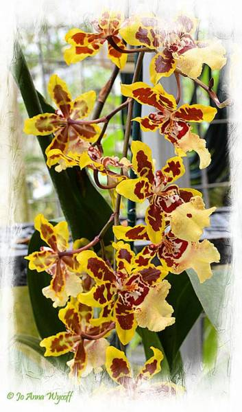 Wall Art - Photograph - Orchid Butterflys by Jo Anna Wycoff