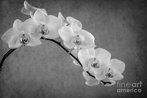 Photograph - Orchid Bw by Hannes Cmarits