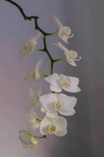 Photograph - Orchid Cascade by Paul Indigo