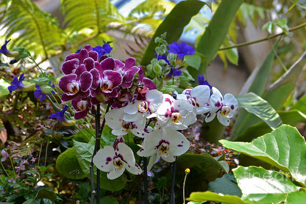 Photograph - Orchid Clusters by Elle Arden Walby