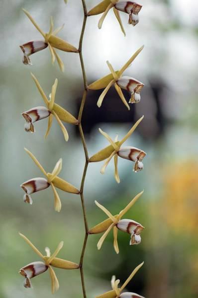 Wall Art - Photograph - Orchid (coelogyne Dayana) by Sam K Tran/science Photo Library