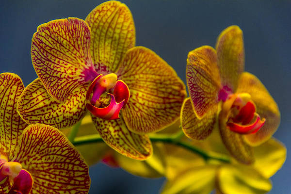 Orchid Photograph - Orchid Color by Marvin Spates